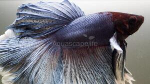 Ikan Cupang Pada Aquascape, Apakah Bisa?