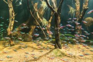 Ikan Schooling Pada Aquascape